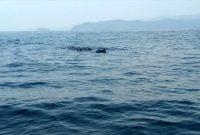 Pesona Lumba Lumba di Teluk Kiluan